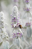 Lambs' ears, Stachys byzantina, Side view of several spires of this soft fluffy plant with silver foliage and buds and small pink purple flowers and bumblebee collecting nectar from a flower.