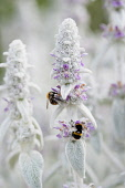 Lambs' ears, Stachys byzantina, Side view of several spires of this soft fluffy plant with silver foliage and buds and small pink purple flowers and two bumblebees collecting nectar from a flower.