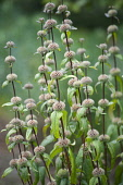 Jerusalem sage, Phlomis turberosa 'Amazone', Side view of several reddish brown stems, with the globes where the flowers have been remaining as structural interest, these will endure right through win...
