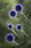 Globe thistle, Echinops 'Veitch's blue', Five white stems with spikey, spherical, deep blue heads viewed from an angle, creating a dynamic effect.