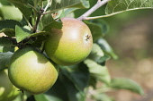 Apple, Malus domestica 'Lord Lambourne, Two apples growing on the tree, with leaves.