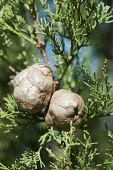 Tecate Cypress, Cupressus forbesii, Close view of two cones of growing amongst its foliage.