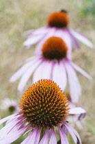 Echinacea, Purple Coneflower , Echinacea purpurea, Three flowers in a line.