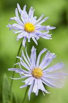 Fleabane, Erigeron 'Azure beauty', Close up of two daisy shaped flowers.
