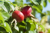 Rose, Rosa rugosa 'alba' hips, Close up of two red hips growing on the plant.
