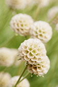 Grass Leaved Scabious, Scabiosa graminifolia, Several papery globe shaped seedheads.