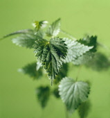Nettle, Stinging nettle, Urtica dioica, A group of leaves shot against a green background with a small area sharp focus showing the stinging hairs.