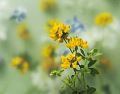 Bird's foot trefoil, Lotus corniculatus, Side view of group of 3 yellow flowerheads with other flowers soft focus behind.