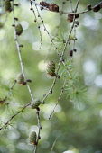 Larch, Larix decidua, Twigs with whorls of needles and small green cones.