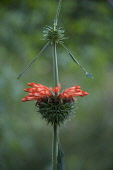 Lion's tail, Leonotis leonurus, Side view of tubular orange flowers in a spikey whorl encircling a square stem.