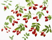 Dog rose, Rosa canina, Overhead view of clusters of rosehips with leaves with more soft focus behind, scattered on a white background.