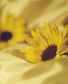 Sunflower, Helianthus, Side view of two flowerheads sunk into matching yellow fabric.