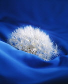 Dandelion, Taraxacum officinale, Side view of a fluffy white seedhead sunk into blue fabric.