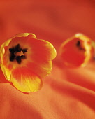 Tulip, Tulipa, Side view of two flowerheads laid onto matching orange fabric, selective focus giving an all over soft effect.