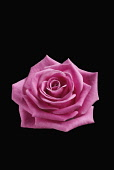 Rose, Rosa,. Front view of cut out of one pink flower showing perfect formation of petals.