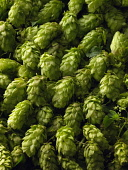 Hop, Humulus lupulus, A mass of freshley picked green hop flowers filling the frame.
