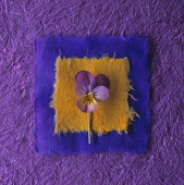 Heart's ease, Viola tricolor, Graphic overhaed shot of single flower with stem laid onto yellow and purple coloured squares of japanese paper, matching the flower colours.