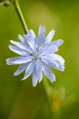 Chicory, Cichorium intybus, Close front view of one pale blue daisy flower growing off the side of a stem.