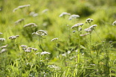 Yarrow, Achillea millefolium, Growing wild in a meadow.