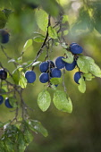 Damson plum, Prunus domestica L. subsp. insititia, Several black fruits with a blue bloom hanging in a group from twigs with leaves.
