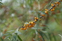 Sea Buckthorn, Hippophae rhamnoides, Twig with narrow leaves and clusters of orange berries.