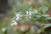 Snowberry, Gaultheria hispida, Twig with leaves and large white berries.