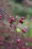 Irish rose. Rosa canina x pimpinellifolia, Several red hips on a twig of this rare hybrid rose found in Ireland.