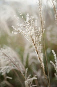 Japanese silver grass, Miscanthus sinensis 'Sirene', Side view of backlit feathery plume against others soft focus behind.