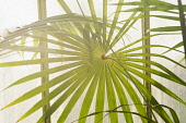 Palm, Fan palm, Close view of leaves backlit against the greenhouse window of Kew garden's Palm House, creating a pattern of green and light.