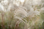 Japanese silver grass, Miscanthus sinensis 'Sirene'. Side view of one feathery plume against others soft focus behind.