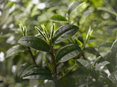 Tea plant, Camellia sinensis, Front view of some twigs with older dark green leaves and buds used for white tea.