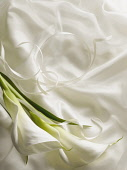 Arum lily, Zantedeschia, Overhead graphic view of two flowers with leaf laid onto silky white fabric with ribbon creating a wedding style look.