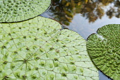 Fox Nut, Euryale ferox, Aerial view of the large leaves in a pond showing the quilted texture.