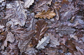 Sessile oak, Quercus petraea, Aerial view of many wet, fallen brown leaves and an acorn.