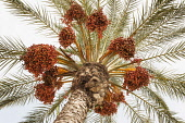 Palm, Canary Island date palm, Phoenix canariensis, Several leaf fronds and large bunches of red colour dates against pale blue sky.