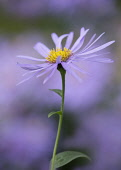 Michaelmas daisy , Aster x frikartii 'Monch', Close side view of one mauve flower with bright yellow stamens against others soft focus behind.