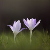 Early crocus, Crocus tommasinianus, Side view of two pale mauve open flowers, rising out of soft focus grass background.