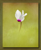 Cyclamen, Single white flower with pink edge rising out from the middle of soft focus green.