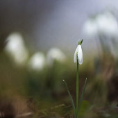 Snowdrop, Galanthus nivalis, Side view of single white closed flower with others soft focus behind.