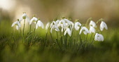 Snowdrop, Galanthus nivalis, Low side view of several white open flowers in a row, rising out of soft focus grass.