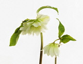 Hellebore, Helleborus x hybridus 'Double Ellen White', Side view a simple arrangement of  open flower and one partially open, cut out against white.