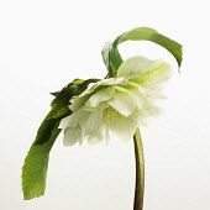 Hellebore, Helleborus x hybridus 'Double Ellen White', Side view of single open flower with leaves cut out against white.