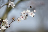 Cherry, Wild Cherry blossom, Prunus avium, Several white flowers on bare twigs against soft focus pale blue sky. A bee hovering aove.