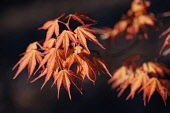 Japanese maple, Acer palmatum 'Katsura', A couple of branches with spring leaves, orange edged with red.