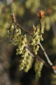Hazek, Fragrant winter hazel, Corylopsis glabrescens,  Close side view of twigs with dangling racemes of cream bell shaped flowers, and new leaves growing at the tips.