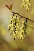 Hazel, Fragrant winter hazel, Corylopsis glabrescens, Close side view of twigs with dangling racemes of cream bell shaped flowers, and new leaves growing at the tips.