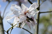 Magnolia, Magnolia sprengeri 'Diva', Side view of a white flower on bare twigs, with another behind, stamens visible.