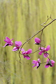 Magnolia, Magnolia sprengeri,  Side view of several pink flowers on twigs, forming a graphic pattern.