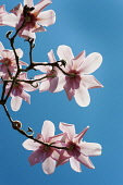 Magnolia, Campbell's Magnolia, Magnolia campbellii, Underneath view of several flowers on bare twigs, backlit by sun, against deep blue sky.