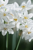 Daffodil, Paper white daffodil, Narcissus papyraceus, Side view of several delicate white flowers on long stalks, petals are backlit in sun, showing yellow stamens in the short coronas.